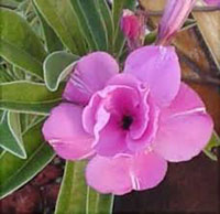 Adenium Double Diamond Ring - seeds