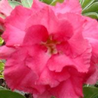 Adenium Pink Valentine, Grafted  Click to see full-size image