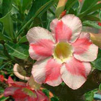 Adenium Sweet Cloud - seeds