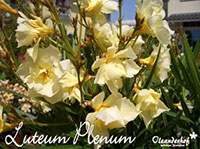 Nerium oleander Luteum PlenumClick to see full-size image