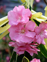 Nerium oleander Mrs. RungeClick to see full-size image