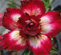 Adenium Cherry Bomb, Grafted