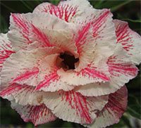 Adenium Milkshake, Grafted  Click to see full-size image