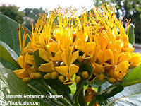 Deplanchea tetraphylla - Golden Bouquet Tree  Click to see full-size image