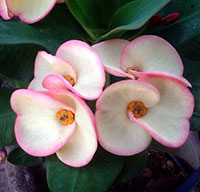 Euphorbia millii - Giant Cotton Candy (Lueng Kob Chompoo)