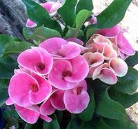 Euphorbia millii - Giant Pet Pe Tai (Petch Petai)  Click to see full-size image