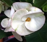 Euphorbia millii - Giant Pin Kaew  Click to see full-size image