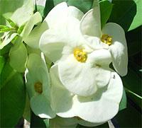 Euphorbia millii - Giant Rakang Banlang Ngerns  Click to see full-size image