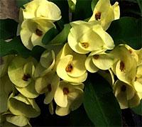 Euphorbia millii - Giant Ruay Lon Fah  Click to see full-size image