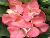 Euphorbia millii - Giant Sab Maholan  Click to see full-size image