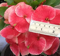 Euphorbia millii - Giant San Rak  Click to see full-size image