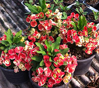 Euphorbia millii - Giant Thong Nuer Kao