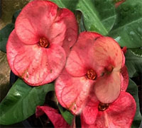 Euphorbia millii - Giant Ying Ruay