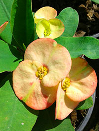 Euphorbia millii - Sunrise (F1)  Click to see full-size image