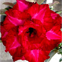 Adenium IT, Grafted