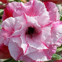 Adenium Pink Pannarai, Grafted  Click to see full-size image