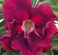 Adenium Black Magic, Grafted