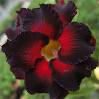 Adenium Black Border, Grafted  Click to see full-size image