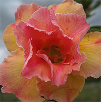 Adenium Peach (Nok), Grafted  Click to see full-size image