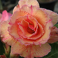 Adenium Sweet Rosy, Grafted  Click to see full-size image