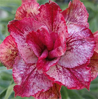 Adenium Venda Line, Grafted  Click to see full-size image