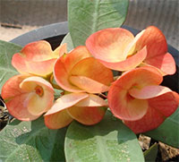 Euphorbia millii - Suncris  Click to see full-size image