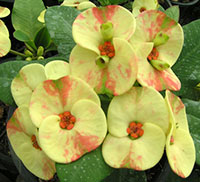 Euphorbia millii - Nam Chok  Click to see full-size image