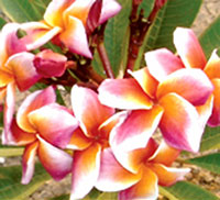 Plumeria Blood Orange (4108), grafted  Click to see full-size image