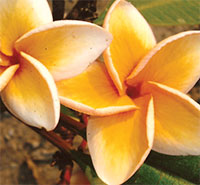 Plumeria On the Beach (4245), grafted  Click to see full-size image