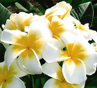 Plumeria Lemon Sherbet (4308), grafted  Click to see full-size image