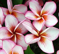 Plumeria Lovely Nina (4646), grafted  Click to see full-size image