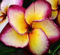 Plumeria Maneerat, grafted  Click to see full-size image