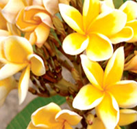 Plumeria Rean Thong, grafted  Click to see full-size image