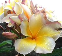 Plumeria Witsanu Gold, grafted  Click to see full-size image