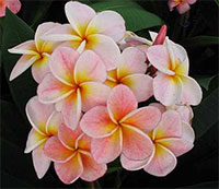 Plumeria Boon Yen, grafted  Click to see full-size image