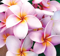 Plumeria Chompoo Sin, grafted
