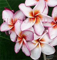 Plumeria Diamond, grafted