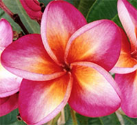 Plumeria Dook, grafted  Click to see full-size image
