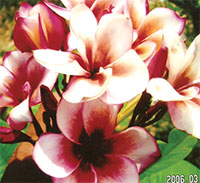 Plumeria Lai Namtan, grafted  Click to see full-size image