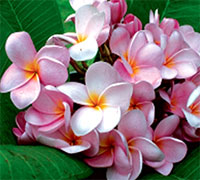 Plumeria Moung Poung, grafted  Click to see full-size image