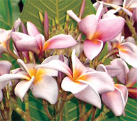 Plumeria Moung Sa Ngeam, grafted  Click to see full-size image