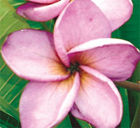 Plumeria Moung Jack, grafted  Click to see full-size image