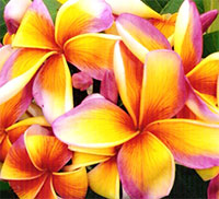 Plumeria Mui Rainbow, grafted  Click to see full-size image