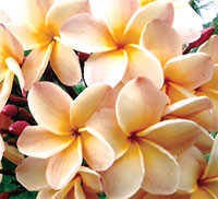 Plumeria Anna Banana (P60), grafted  Click to see full-size image