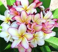 Plumeria Poung Yok, grafted  Click to see full-size image