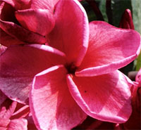 Plumeria (Jam Jam) Red 59, grafted  Click to see full-size image