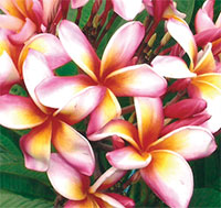 Plumeria Sally, grafted  Click to see full-size image