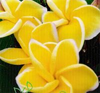 Plumeria Yellow Siri MongkolClick to see full-size image