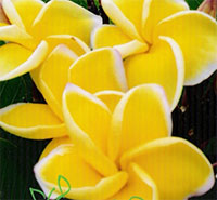 Plumeria Yellow Siri Mongkol  Click to see full-size image