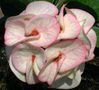 Euphorbia millii - Thong Kon  Click to see full-size image